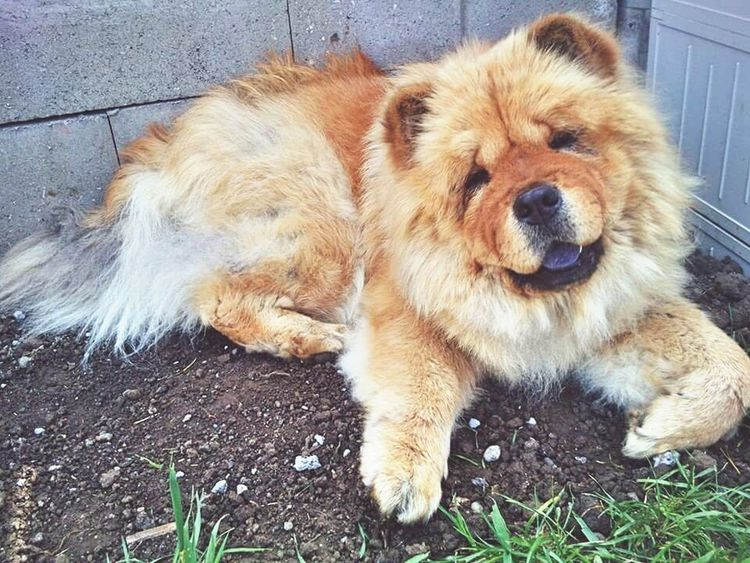 Found On The Roll Sweet Puppy Face. Love My Dog  Zara ❤ Sweetheart 4 Years Together Missing You Chow Chow Purple EyeEmNewHere EyeEmNewHere Pet Portraits