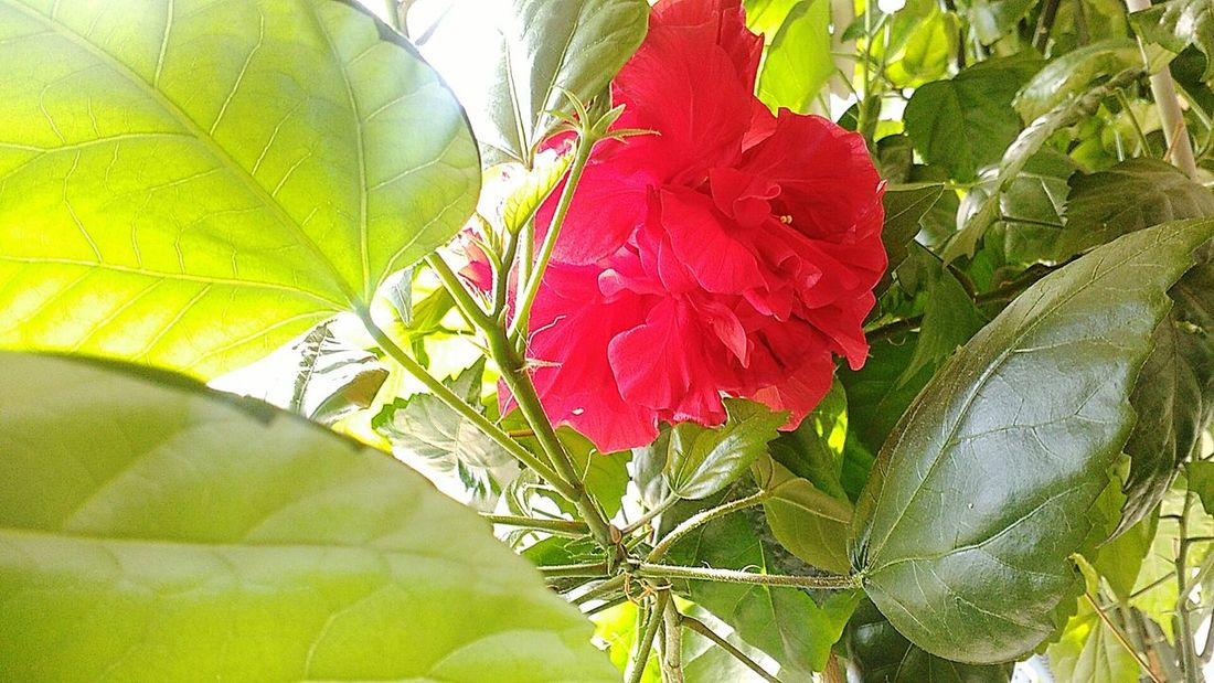 Цветок Leaf Red Flower Plant Freshness Green Color Green Nature Leaf Vein Beauty In Nature