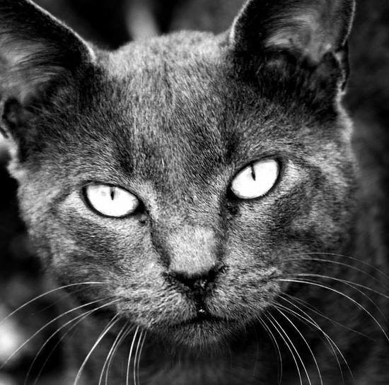 El gato de mi vecina Cat Lovers Blackandwhite