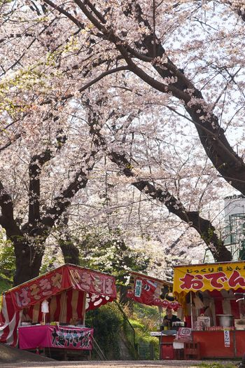 Japan Photography Japan Cherry Blossoms Sakura Nature_collection EyeEm Best Shots Tree Plant Architecture Built Structure Building Exterior Nature Day No People Growth Branch Outdoors Sunlight Springtime Freshness Low Angle View Building Decoration Flowering Plant Flower Blossom