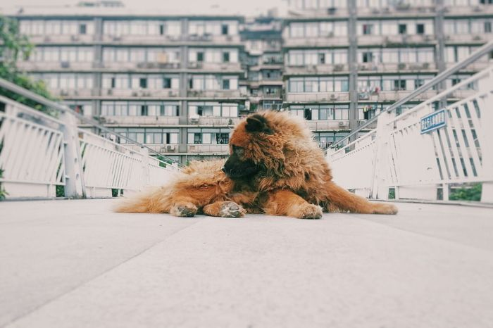 Chongqing China Mycity Good Afternoon Dog