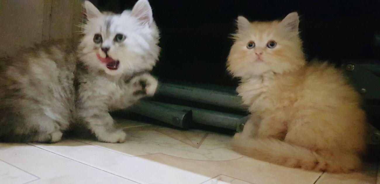 Neo và Law này Pets Portrait Feline Looking At Camera Domestic Cat Sitting Kitten Cute