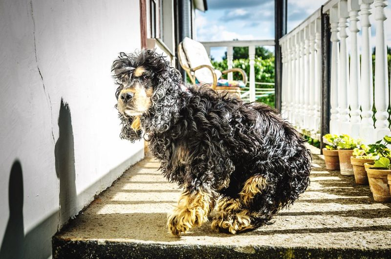 An English Cocker Spaniel dances on the porch after a clean up. Pets Cocker Spaniel  English Cocker Spaniel Black Cocker Spaniel Dog Canine Playful Domestic Animals One Animal Cute Curly Hair Dog Bad Hair Day Cute Pets Pet Dance Front Porch Canine Companion Canine Friend Who Let The Dogs Out? Pet Portraits Pet Pet Photography  Dog Breeds Canine Furry Friends Furry Dog