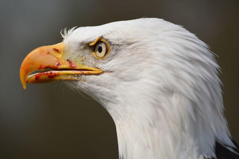 Close-Up Of Bald Eagle With Blood On Beak