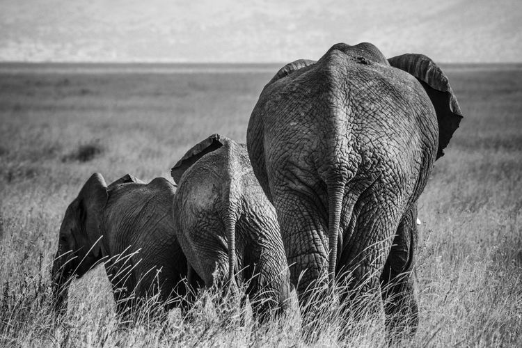 Elephant with calves walking on grassy field
