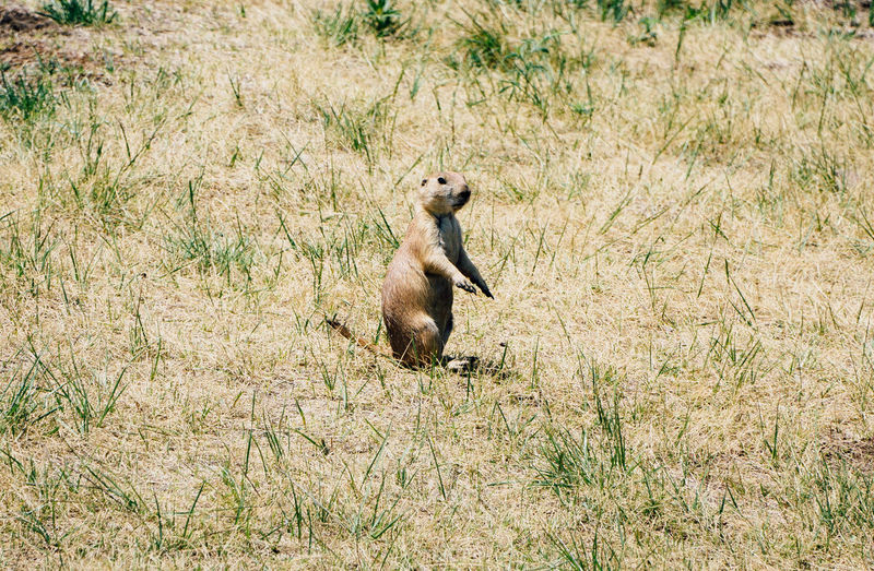 Animal Themes Animal Wildlife Animals In The Wild Day Field Grass High Angle View Mammal Nature No People One Animal Outdoors Prairie Dogs Sunlight