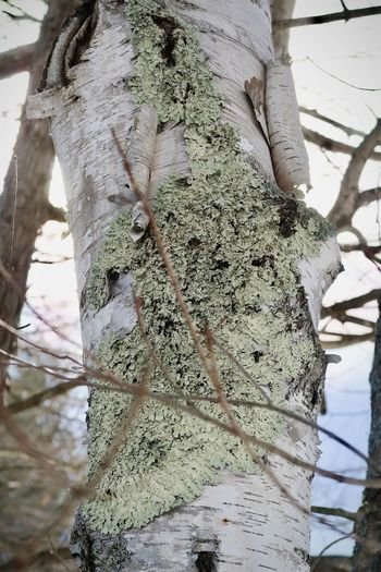 Close-up of lichen on tree trunk during winter