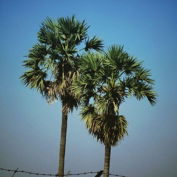 As tall as it gets ... Trees Tall Coconut Puneinstagrammers Punediaries Photopport_unity Photodrobe Insta_vibrant Instacool Waycoolshots Goa Lastvisit Fun Igs_world Igs_asia Rsa_light Afadingworld Green Ngma Sky Blue Vsco_shots Fade