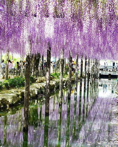 週末は夏日みたいですね。 良い休日を✨ 去年の藤です。 藤 藤の花 花 リフレクション Reflection Japan Igers Igersjp Icu_japan Flowers_shotz Flower Flowers Landscape Instagood Instagramers Instagrammer Team_jp_ Team_jp_flower