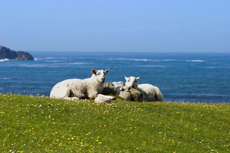 View of sheep on sea shore