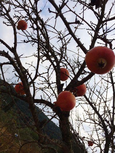 Fall Colors Pomegranate September