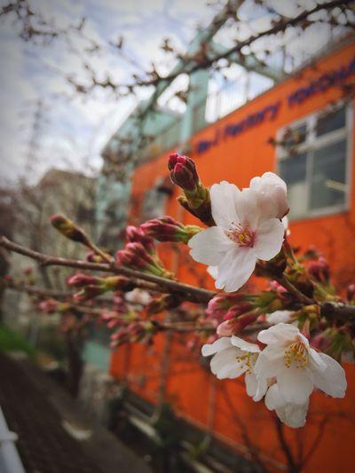 今日は空気が冷たいけど、陽射しは暖かいのでお散歩日和です。 Walking Around Blossom Cherry Blossoms