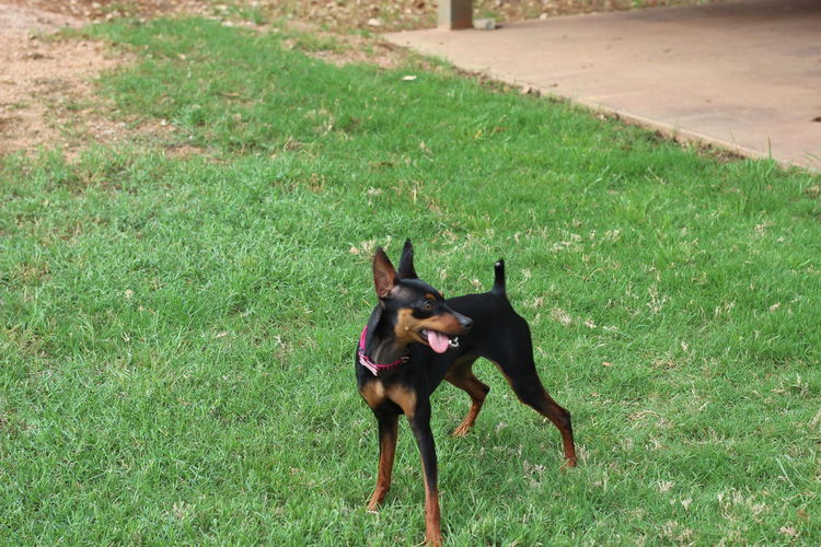 Animal Themes Dog Domestic Animals I Love My Dog I Love My Min Pin Minpin Minpins One Animal Outdoors Pets