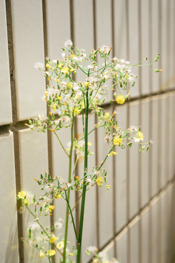 Flower Freshness Plant Growth Close-up Plant Stem Petal Boundary Wall - Building Feature Dandelion