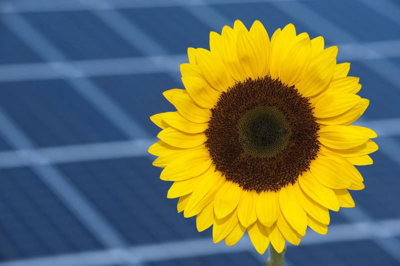 solar panels for renewable energy with symbolic sunflower Sun Flower Copy Space Photovoltaic Roof Construction Building Station Installation Generator System Ecological Eco Cell Nature Collector Ecology Climate Change Climate Sunlight Sunshine Alternative Sun Energy Sun Panel Solar Energy Concept Solar Power Station Plant Engineering Equipment Structure Voltage Electrical Supply Electric Electricity  Power Renewable Energy Energy Business Industrial Industry Technology Sunflower Nobody No People Copyspace Close-up Symbol