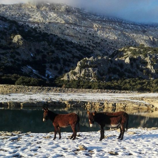 Side view of donkeys standing on snowy field by lake