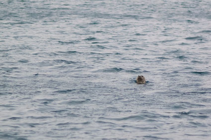 Hello! ) Spotted Seal Largha One Animal Nature Water No People Mammal Animals In The Wild Swimming Outdoors Sea