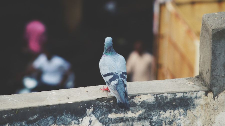 Bird Animal Themes Outdoors One Animal No People Close-up Day No Man EyeEmNewHere EyeEm Selects EyeEm LOST IN London DSLR Photographer Photography Camera Portrait Piegion Birds_collection Birds Freshness Nature Love Wine Not