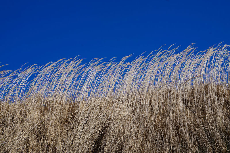 Low Angle View Of Grass On Field Against Clear Blue Sky