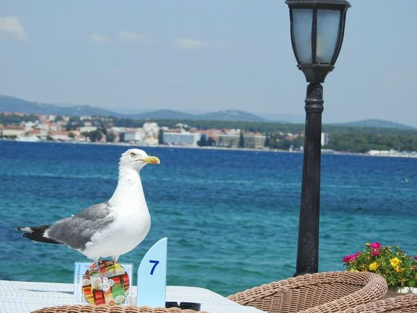 Angry guest Bird Sea One Animal No People Outdoors Animal Themes Water Animals In The Wild Seagull Close-up Croatia Seagulls In The City Seagullspotting Restaurant Table Restaurant Guest... The Week On EyeEm