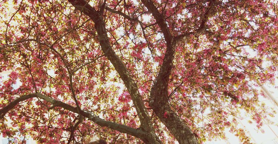 Instagram Instagood Instamood ınstagramers Weheartit Trees Spring Pink Pink Trees VSCO #insta