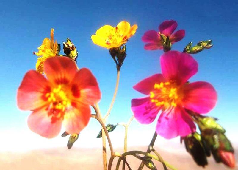 Desertflower Pink Flower Yellow Flower Orange Flower Getting Inspired Flowers Noedit Beautiful Nature EyeEm Nature Lover Naturelovers