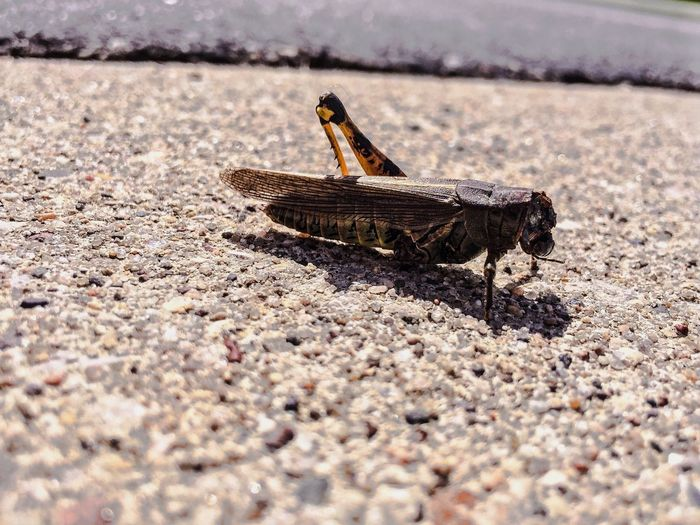 Grasshopper Rochester MN Grasshopper Sunny Sunny Day Pavement Insects  Pebble