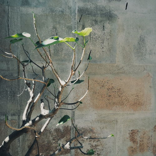 Close-up of dry plant against wall
