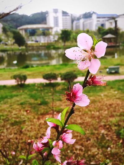 前年种下的桃花終於開花了!棒棒的!