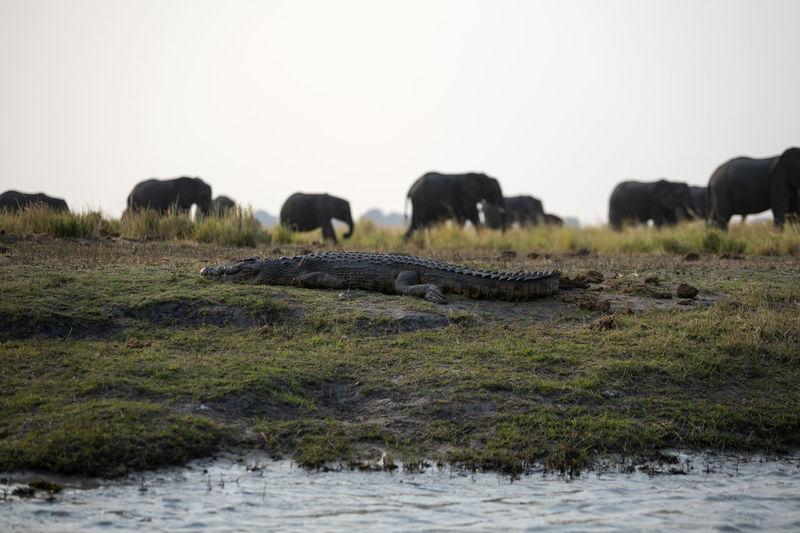 A crocodile with elephants in a field