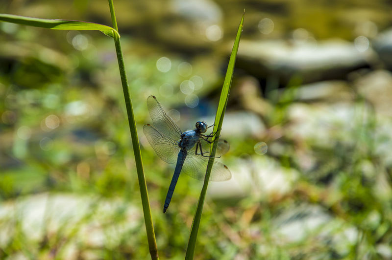 Close up of a blue dragonfly insect, near the river Animals In The Wild Animal Wildlife Invertebrate Animal Themes Animal One Animal Insect Plant Close-up Animal Wing Nature Focus On Foreground Dragonfly Day No People Damselfly Green Color Growth Selective Focus Beauty In Nature Outdoors Blade Of Grass