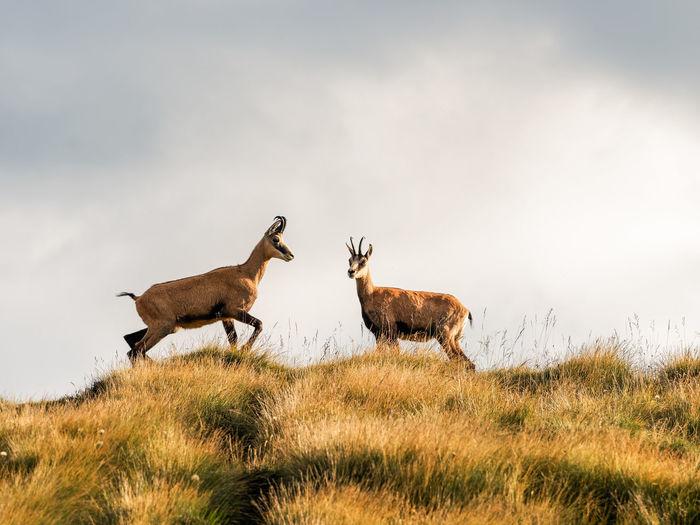 Antelope On Field Against Sky