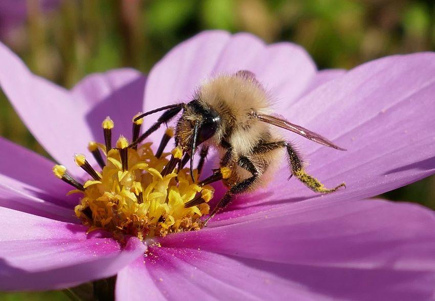 Anthophora Plagiata Pelzbiene, Helle Form Bee Biene Blütenstaub Close-up Flower Head Insect Nature One Animal Pollen