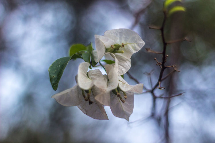 Apple Blossom Beauty In Nature Blooming Blossom Botany Branch Cherry Blossom Cherry Tree Close-up Day Flower Flower Head Focus On Foreground Fragility Freshness Growth In Bloom Nature No People Petal Pollen Single Flower Springtime White Color