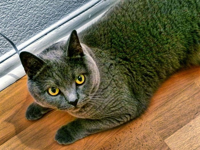 Domestic Cat Domestic Animals Pets Feline Animal Themes Mammal Cat One Animal High Angle View No People Looking At Camera Portrait Close-up