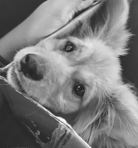 Who can resist that face? Dog Pet Domestic Animals One Animal Animal No People Looking At Camera Puppy Cute Animal Hair Furry Portrait Close-up Young Animal Animal Themes Day Black And White High Angle View Box - Container Furry Friend Furry And Fluffy Furry Animal Dog Eyes Dog Snout The Portraitist - 2017 EyeEm Awards