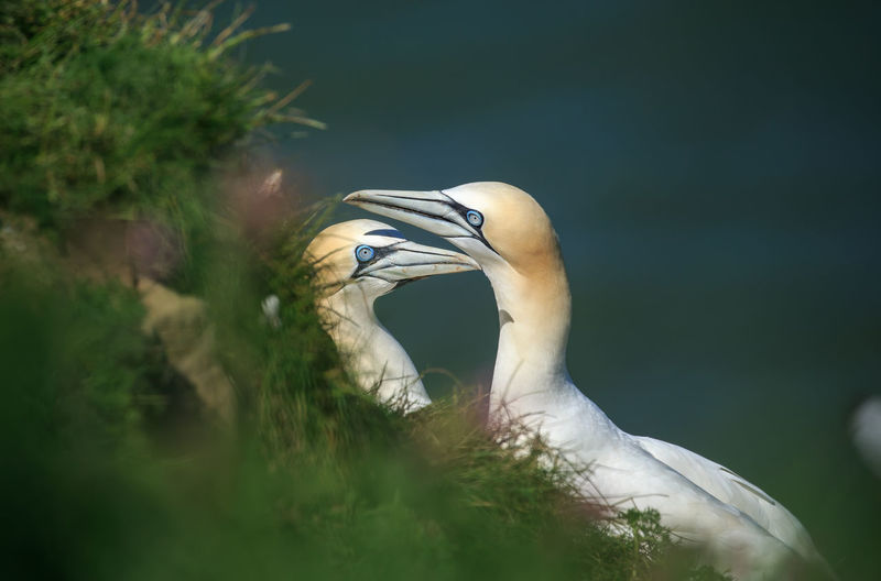 Close-up of gannets by plants on land