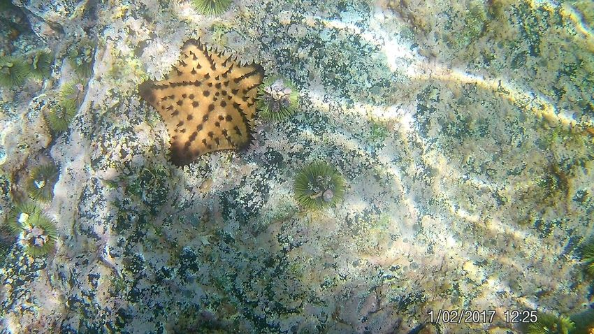 Starfish Tintoreras Isabella Island Snorkeling Starfish  Animals In The Wild High Angle View Animal Themes One Animal Nature Animal Wildlife No People Day Outdoors Close-up UnderSea Beauty In Nature Sea Life