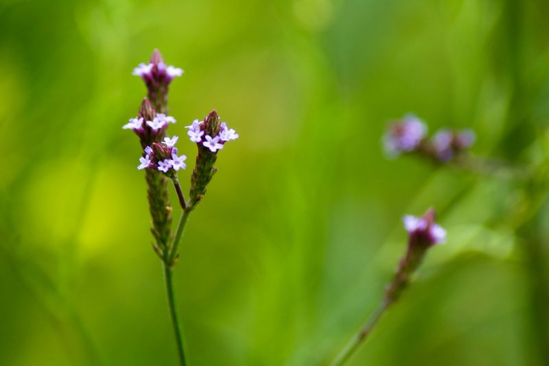 Green Color Flower Flowering Plant Plant Freshness Growth Beauty In Nature Vulnerability  Fragility Nature Inflorescence Plant Stem Outdoors Purple