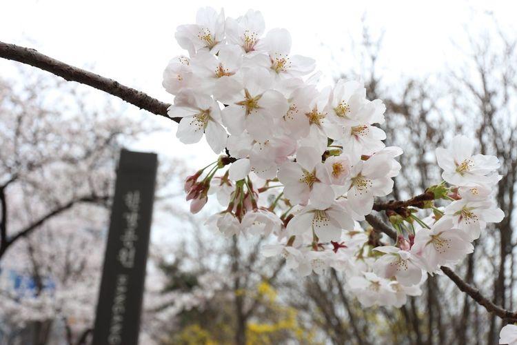 Flower Cherry Blossom Blossom Tree Springtime White Color Beauty In Nature Nature Growth Twig Photo サクラ Hangang Park 꽃 벚꽃 벚나무 봄 자연 사진 한강공원 Seoul, Korea