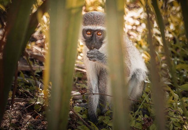 Black faced Monkey Animals In The Wild Nature Animal Animal Themes Animal Wildlife Animals In The Wild Day Land Lemur Looking At Camera Mammal Monkey Nature Nature_collection No People One Animal Outdoors Plant Portrait Primate Tree Vertebrate