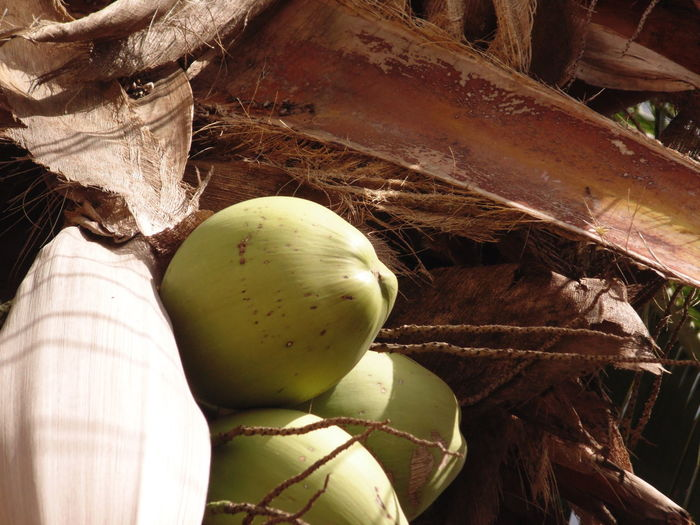 Close-up Coconut Coconut Palm Tree Food Freshness Nature