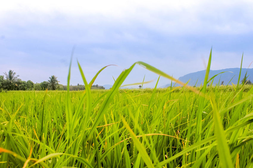 Farm Green Agriculture Beauty In Nature Close-up Cloud - Sky Cornfield Cornfield With Blue Sky Day Field Focus On Foreground Grass Green Color Growth Landscape Nature No People Outdoors Plant Rural Scene Scenics Sky Tranquil Scene Tranquility Tree