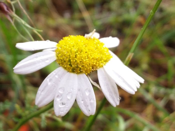 the world's voice will speak to the daisies today Whiteyellowgreen RainDrop Flower Head Flower Yellow Petal Close-up Plant Daisy Pollen