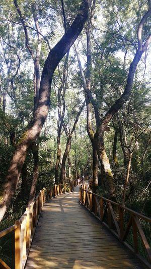 Samsun Turkey Tree Bridge Sun çakırlarkorusu
