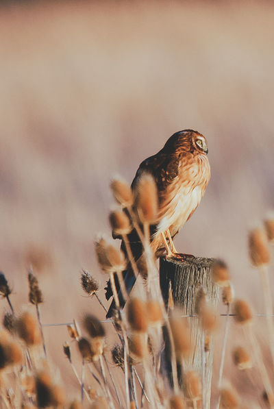 Northern Harrier Raptor Animal Themes Animal Wildlife Animals In The Wild Beauty In Nature Bird Close-up Day Harrier Nature No People Northernharrier One Animal Outdoors