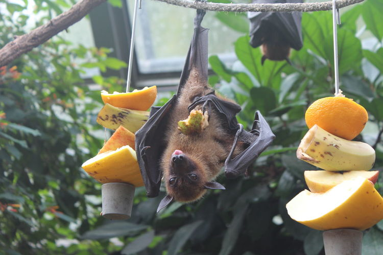 Flying Fox Zoo Adorable Animal Themes Animals In The Wild Banana Close-up Cute Day Eating Food Food And Drink Freshness Fruit Hanging Jungle Mammal Nature No People Outdoors Tree Zoo Animals  EyeEmNewHere
