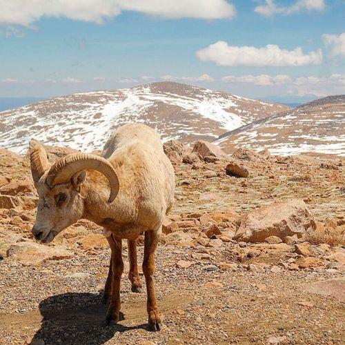 Bighorn sheep standing at mt evans