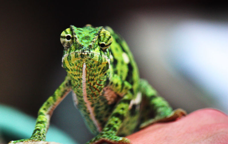 Africa Animal Markings Animal Themes Animals In The Wild Chameleon Close-up Focus On Foreground Green Green Color Kenya Lizard Nature One Animal Reptile Safari Safari Animals Selective Focus Wildlife Wonky Eyed
