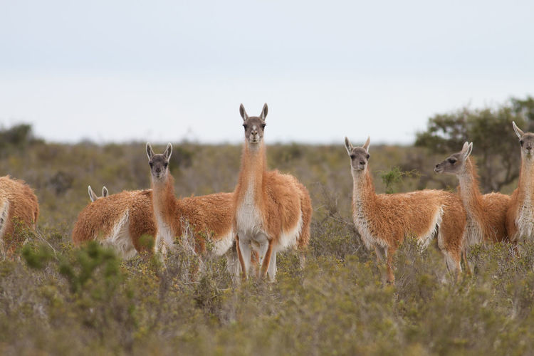 Group of llama standing on field